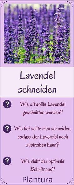 Lavendel richtig schneiden: Wie schneidet man Lavendel richtig? Wir geben Tipps! #Lavendel