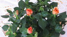 A minirózsa gondozása gyakran nem kis fejtörést okoz a gyakorlott hobbi kertészeknek is. Törpe rózsának és szobarózsának is hívják, ezért sokan lakásban akarják tartani hónapokig, aminek gyakorta kudarc a vége. Nézzük, mit kell tenni,... The post Minirózsa (szobarózsa ) gondozása kint és bent appeared first on Balkonada. Poster, Plants, Garden, Garten, Planters, Gardening, Outdoor, Billboard, Home Landscaping