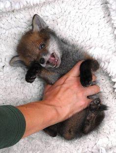 Baby fox! OMG! Soo adorable!