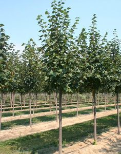 Tilia cordata - Linden Tree Blerick Trees Buy Online Trees Advanced Trees, Screening Plants, Fruit Trees