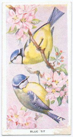 Vintage Birds, Vintage Ephemera, Vintage Art, Blue Tit, Bird Illustration, China Painting, Bird Prints, Little Birds, Pet Birds