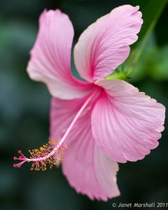 Pink Hibiscus (by Marsjan)