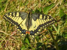Papilio machaon - Papilio machaon