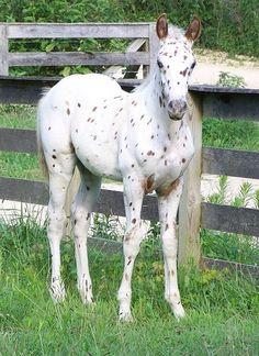 Foals - Leopard Appaloosa colt - by Salior Girl