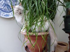 Cat Bijoux loves the 'grass' of my Beaucarnea recurvata