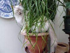 Cat Bijoux loves the 'grass' of my Beaucarnea recurvata
