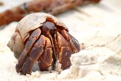 hermit crab - Google Search