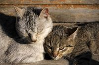 Home Remedy for Cat With Upper Respiratory Infection | eHow