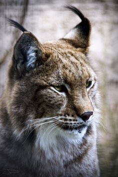 Magnificent lynx