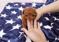 Miniature Poodle puppies for sale! These adorable, fluffy Mini Poodle puppies are an intelligent, cheerful, and sensitive dog breed. Micro Teacup Poodle, Teacup Poodles For Sale, Teacup Poodle Puppies, Micro Teacup Puppies, Tea Cup Poodle, Tiny Puppies, Cute Puppies, Cute Dogs, Cute Funny Animals