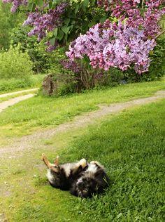 Have a nice Midsummer! My Photos, Corgi, Nice, Summer, Animals, Corgis, Summer Time, Animales, Animaux