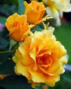 41 Mejores Imágenes De Rosas Amarillas Yellow Roses