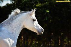 Arabian Grey