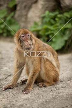 monkey looking left - Macaque sits on rough terrain then looks left.