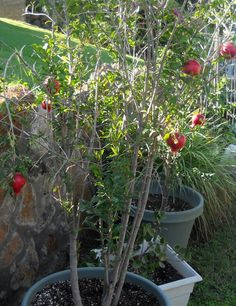 A Kitchen Garden in Kihei Maui: Growing Container Pomegranate Trees