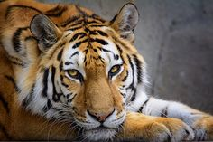 Tiger [EXPLORED]