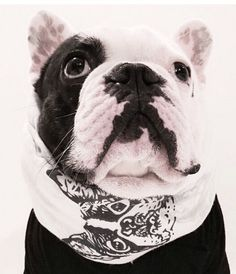 'Manny', the Very Chic French Bulldog