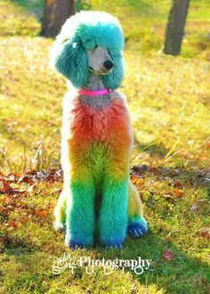 dyed poodles on Pinterest | 17 Pins