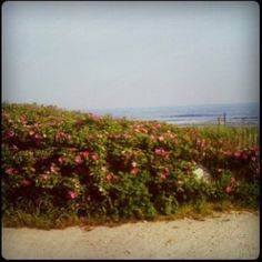Beach Roses!  LOVE!  The scent is intoxicating mixed with the salty air.