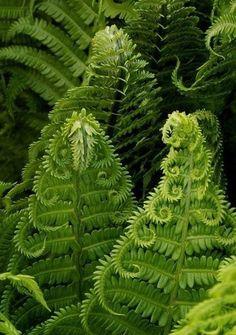 Папоротник Fern Forest, Forest Plants, Forest Flowers, Ostrich Fern, Plants That Like Shade, Shade Plants, Asparagus Fern, Asparagus Spears, Wood Fern