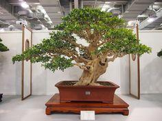 Murraya Bonsai Art, Bonsai Garden, Bonsai Trees, Murraya Paniculata, Terrarium, Nature, Plants, Display Stands, Miyagi