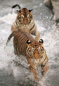 tigers running in the water