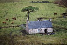 A Scottish croft complete with dwelling, pine, and cattle.