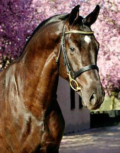 Hosteiner sport horse stallion, Clarucci C.