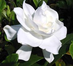 Gardenia plant - 1 gallon Our gardenia plants are in 1 gallon containers.and they will bloom this year! Gardenias do best in part shade/part sun. Gardenias, Gardenia Bush, White Gardenia, Gardenia Care, Gardenia Wedding, Dwarf Gardenia, White Flowers, Beautiful Flowers, Yellow Roses