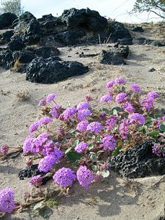 Mojave Verbena - The Mojave Desert is a rain-shadow arid desert area that occupies a significant portion of southeastern California and smaller parts of central California, southern Nevada, southwestern Utah and northwestern Arizona in the United States. Types Of Desert, Rain Shadow, Desert Area, Great Basin, Desert Photography, Mojave Desert, Desert Plants, Habitats, Wild Flowers
