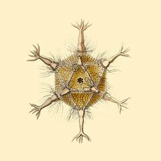 There are also life forms that have a perfect platonic solid as their body, such as Radiolaria. Small single-celled organisms, some of which have a perfect icosahedron as their body. #radiolaria #platonicsolid #icosahedron #organisms Egg Of Life, Leonardo Fibonacci, Fibonacci Golden Ratio, Sacred Geometry Patterns, Divine Proportion, Platonic Solid, Everything Is Connected, Pyramids Of Giza, Life Form