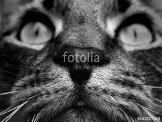 """Pobierz zdjęcie royalty free  """"Pyszczek kota bengalskiego"""" autorstwa nataliamatusz w najniższej cenie na Fotolia.com. Przeglądaj naszą bazę tanich obrazów online i odnajdź doskonałe zdjęcie stockowe do Twoich projektów reklamowych!"""