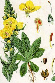 Mit ihren warm-gelben Blüten ist die Königskerze ein Symbol für langes Leben. Besonders bekannt ist ihre Wirkung gegen Husten, Heiserkeit und Halsschmerzen.: