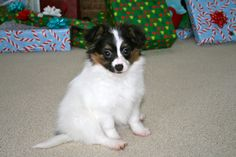 Puppy on first married christmas!