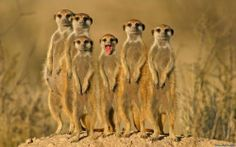 meerkats from website