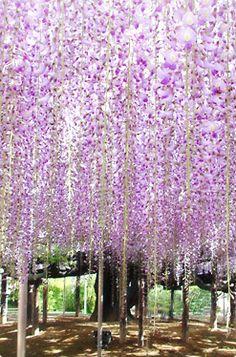Wisteria (Fuji) flower park Japan