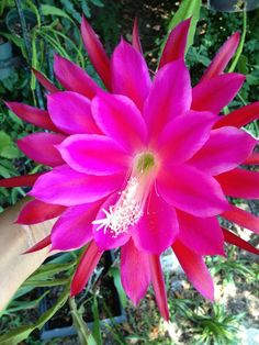 "Epiphyllum bloom: ""Concerto""."