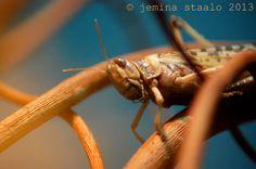 Jemina Staalon matkaploki: Varsinainen puusilmä: hepokatti