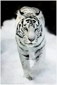 """""""Albino Tiger - Love the eyes....."""" This is NOT a Albino Tiger, if this was then you would not be able to see the stripes!!!!"""