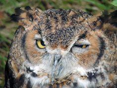 Virginia-Uhu (Great Horned Owl) - oder auch Komischer Kauz ;)