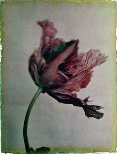 Leendert Blok-Tulipa, Black Parrot