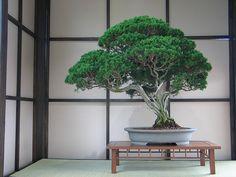 Muy viejo Juniperus chinensis