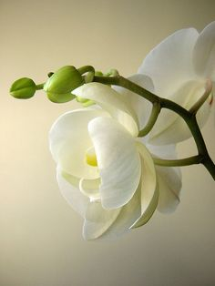 Beautiful white orchids: the delicate, exotic and graceful orchid represents love, luxury, beauty and strength. Exotic Flowers, Amazing Flowers, My Flower, Beautiful Flowers, Anemone Flower, Orchid Flowers, Cactus Flower, White Orchids, White Flowers