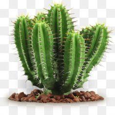Cactus Png, Cactus Vector, Cactus Seeds, Cactus Flower, Flower Bookey, Flower Film, Succulent Seeds, Flower Pots, Gardening Supplies