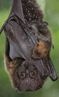 Rodrigues fruit bats are only found on the Rodrigues Island in the Indian Ocean and are critically endangered.  This is a great photo of a bat with pup!
