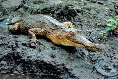 The Central African species of slender-snouted crocodile in Gabon. © Matt Shirley, UF/IFAS.