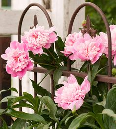 peony growing tips-grow in sun, well-drained soil, don't relocate, feed once a year/spring, cut back foliage, stake the tall plants, ignore ants