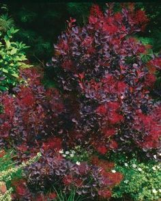 Smoke bush can be grown as a large shrub, but it is best when cut back severely each year.