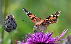 Painted Lady Butterflies Migration | painted lady butterfly scientists believe they have solved the long ...