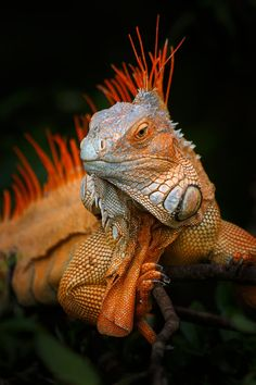 Green Iguana (Iguana iguana) from Costa Rica ~ © Petr Bambousek